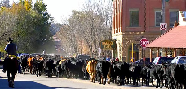 Cattle Drive through Downtown Mancos, Colorado